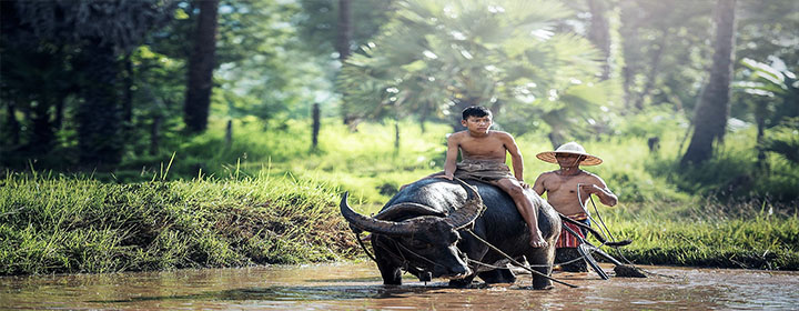 laos bull riding nature
